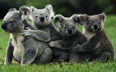 koala 240x150 - Fakta Unik tentang 12 Binatang Ini Bakal Menunjukkan bahwa Mereka Itu Sungguh Menggemaskan Banget