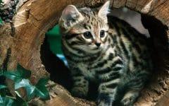 slide 354399 3872523 free 240x150 - Meski Dianggap Mematikan, Kucing Jenis Ini Punya Wujud yang Menggemaskan Banget, Lho!